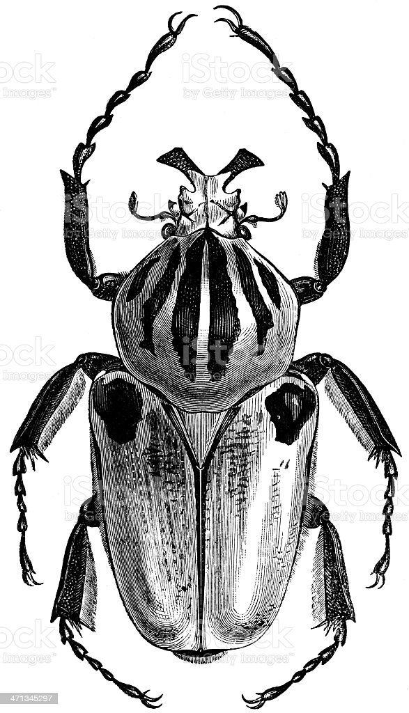 Male Goliath beetle stock photo
