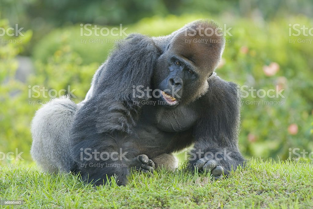Male gorilla royalty-free stock photo