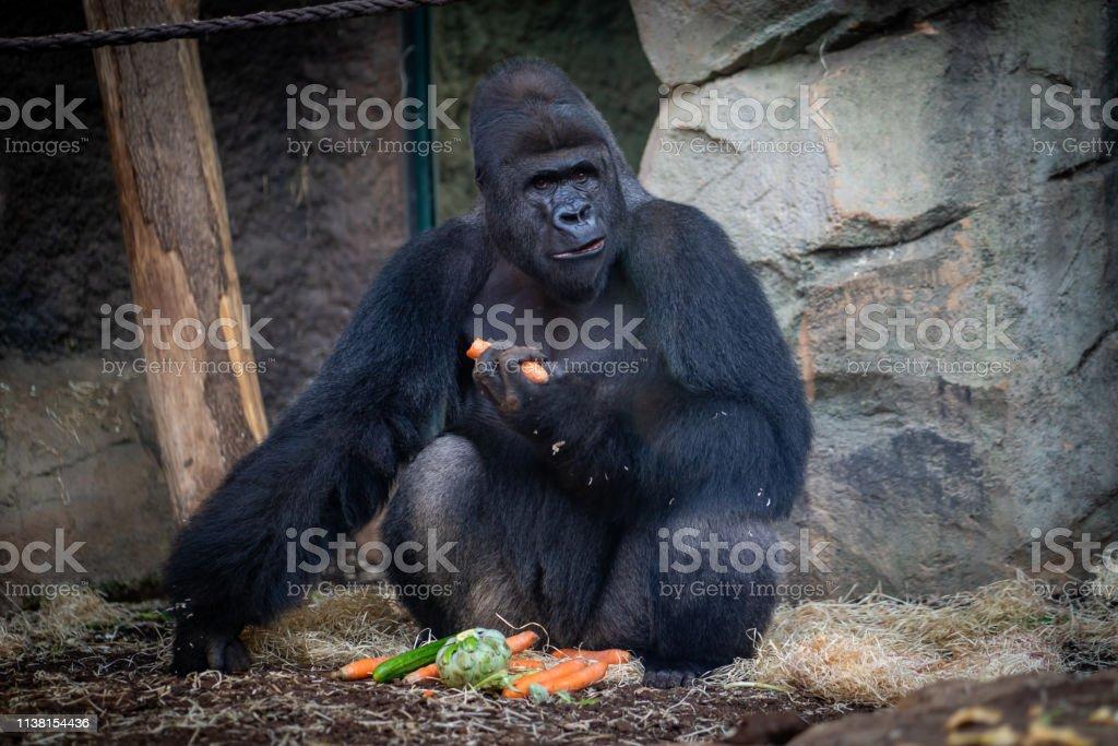 Männlicher Gorilla mit Essen im Frankfurter Zoo – Foto