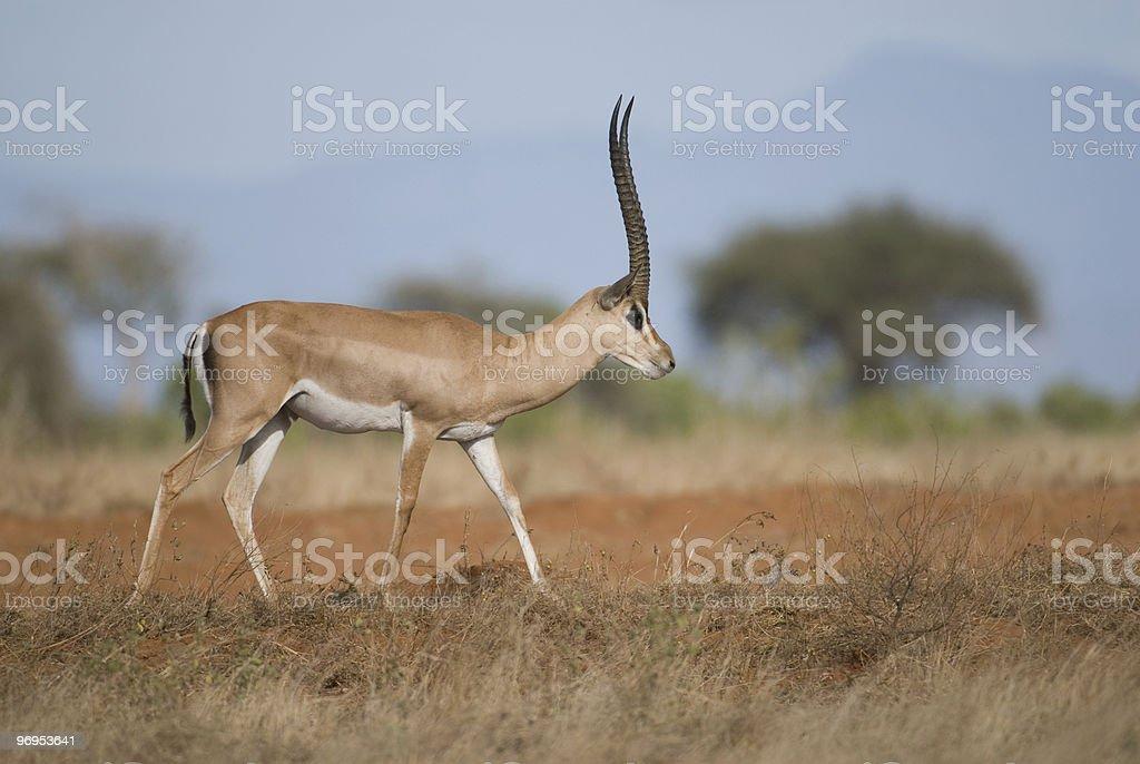 Male Grant's Gazelle (Nanger granti), East Tsavo, Kenya. royalty-free stock photo