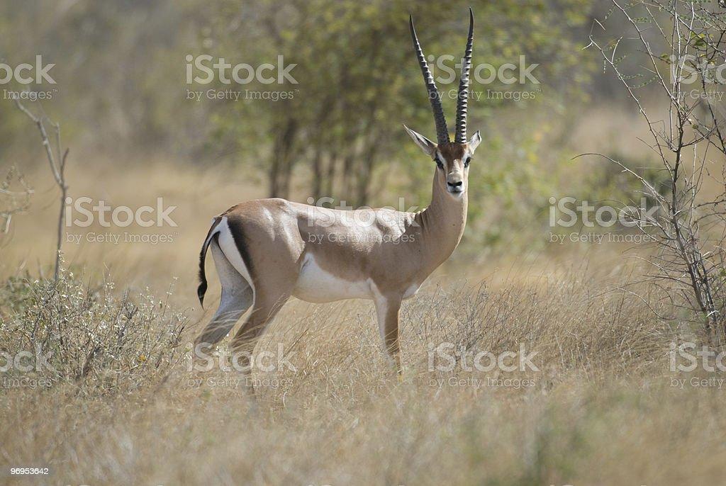 Male Grant's Gazelle (Nanger granti), East Tsavo, Kenya royalty-free stock photo
