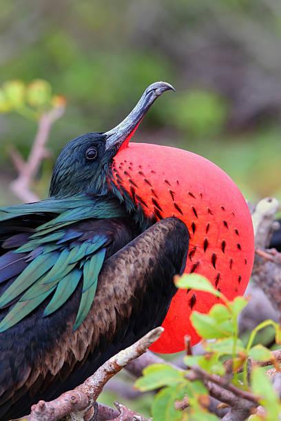 masculino grande frigatebird na ilha genovesa, pa nacional de galápagos - fragata - fotografias e filmes do acervo