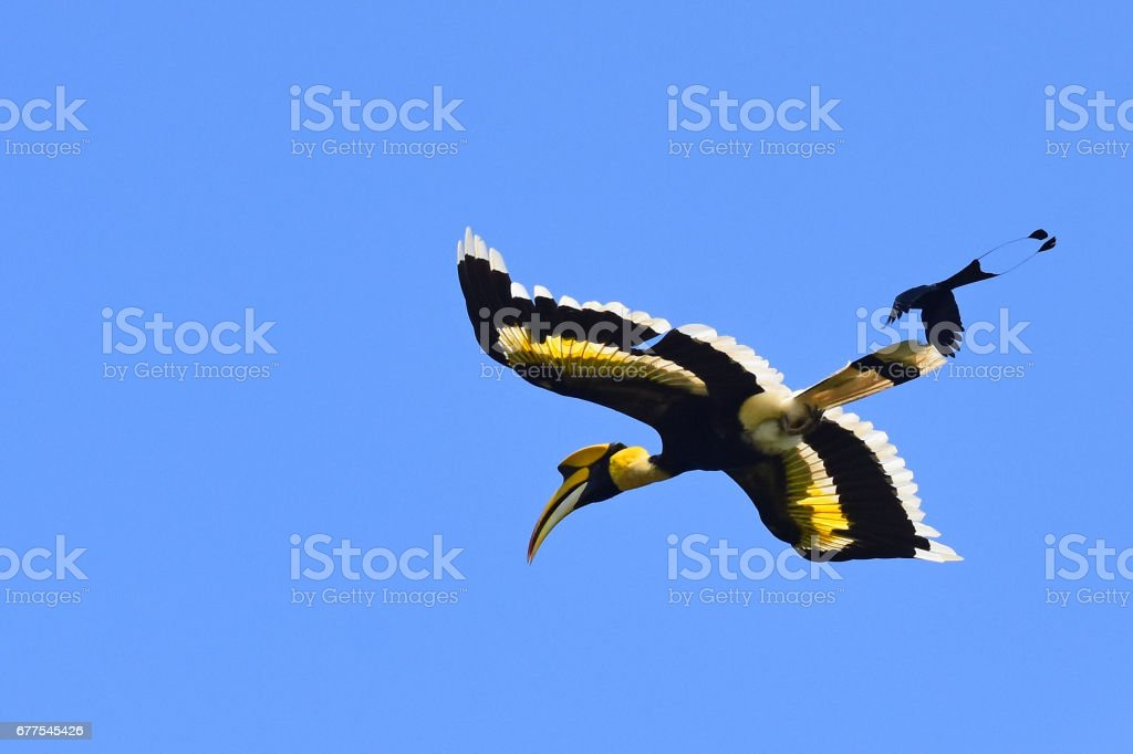 A male Great Hornbill being mobbed by Greater Racket-tailed Drongo, Khao Yai national park, Thailand stock photo