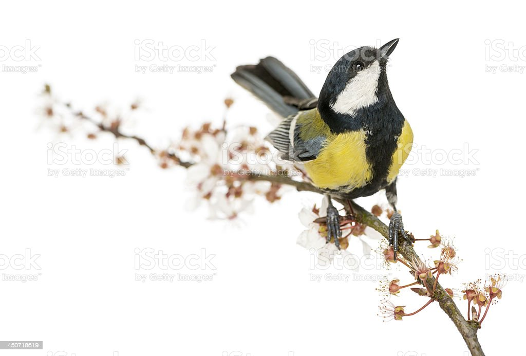 Male great tit perched on a flowering branch, looking up stock photo