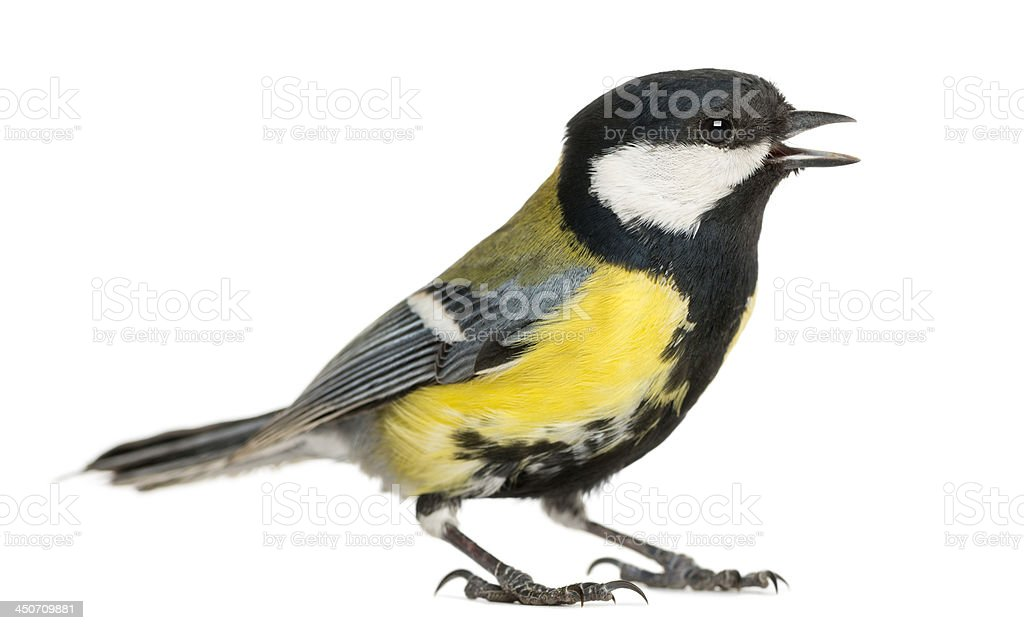 Male great tit tweeting, Parus major, isolated on white stock photo