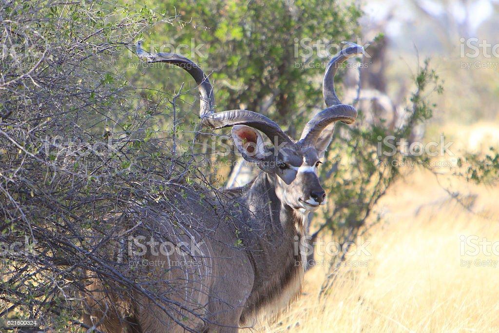 Male greater kudu in Savuti, Chobe National Park, Botswana photo libre de droits