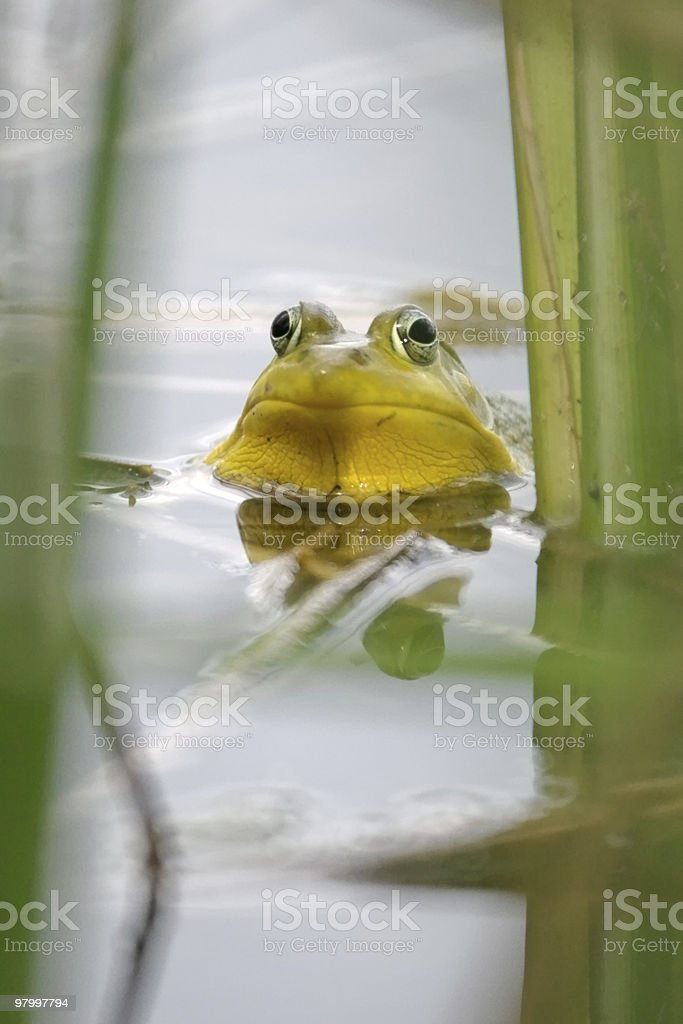 Male Green Frog head in water royalty free stockfoto