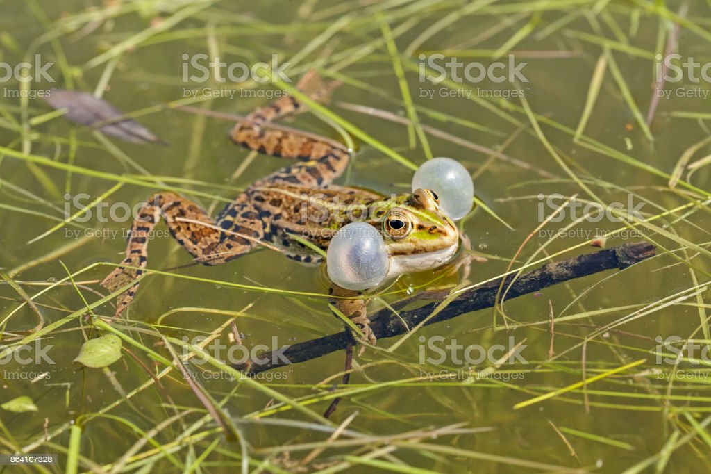 male green frogs royalty-free stock photo