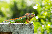 Male green iguana in Belize sitting on a block wall looking into nearby mangrove forest