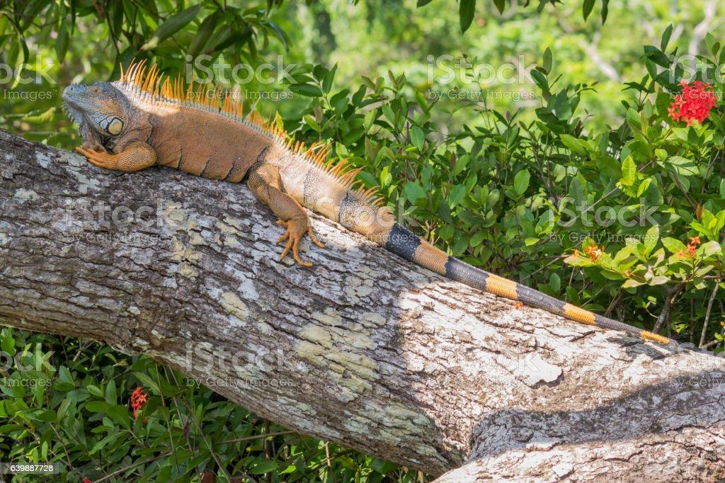 Male green Iguana lying on a tree trunk in Belize stock photo