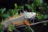 A Green Iguana sunning himself.  Native to Puerto Rico.