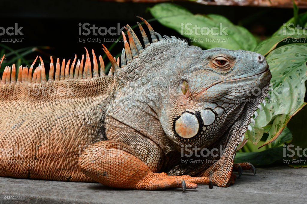 Male green iguana royalty-free stock photo