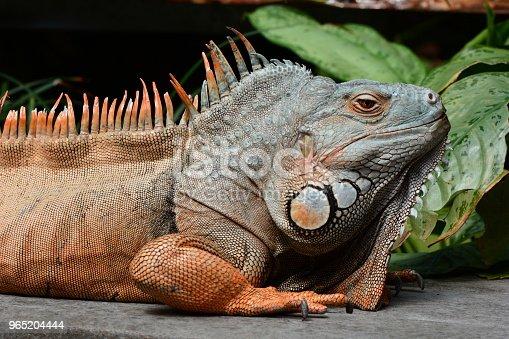 Male Green Iguana - Stockowe zdjęcia i więcej obrazów Bez ludzi