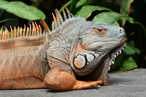 Male Green Iguana Stock Photo - Download Image Now