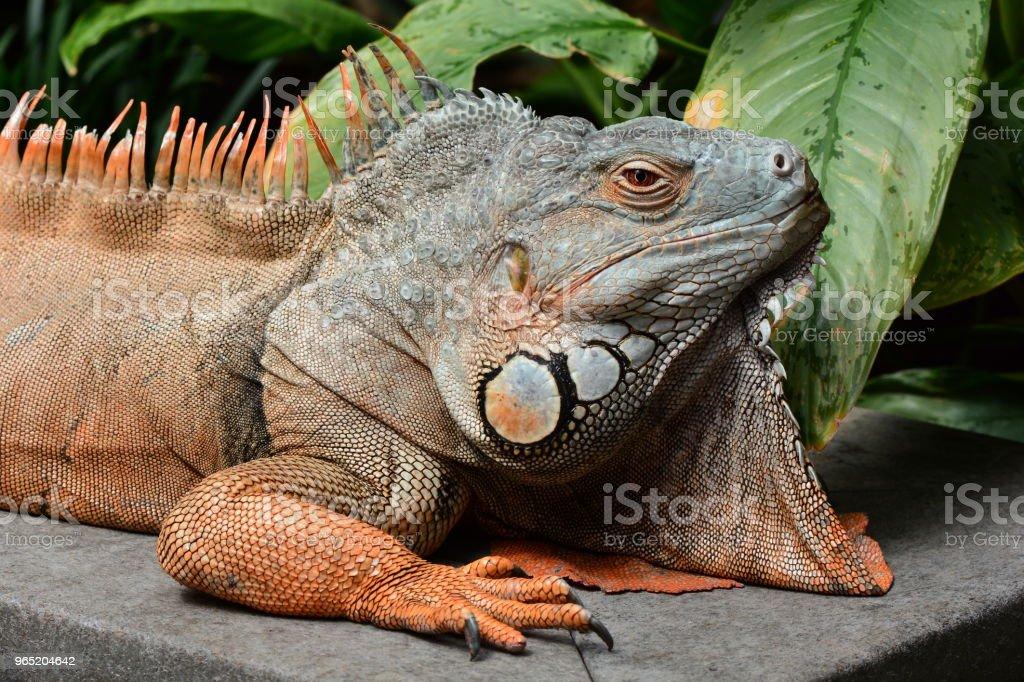 Male green iguana royalty-free stock photo