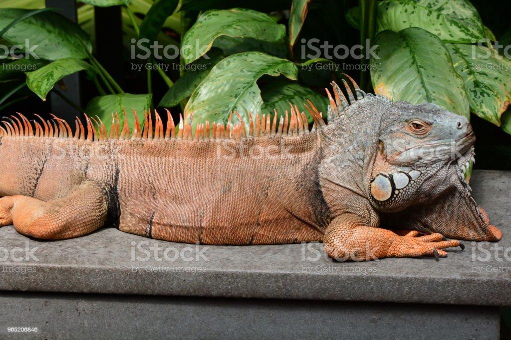 Male green iguana zbiór zdjęć royalty-free