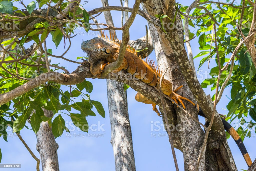 Male green Iguana relaxing in a tree in Belize. stock photo