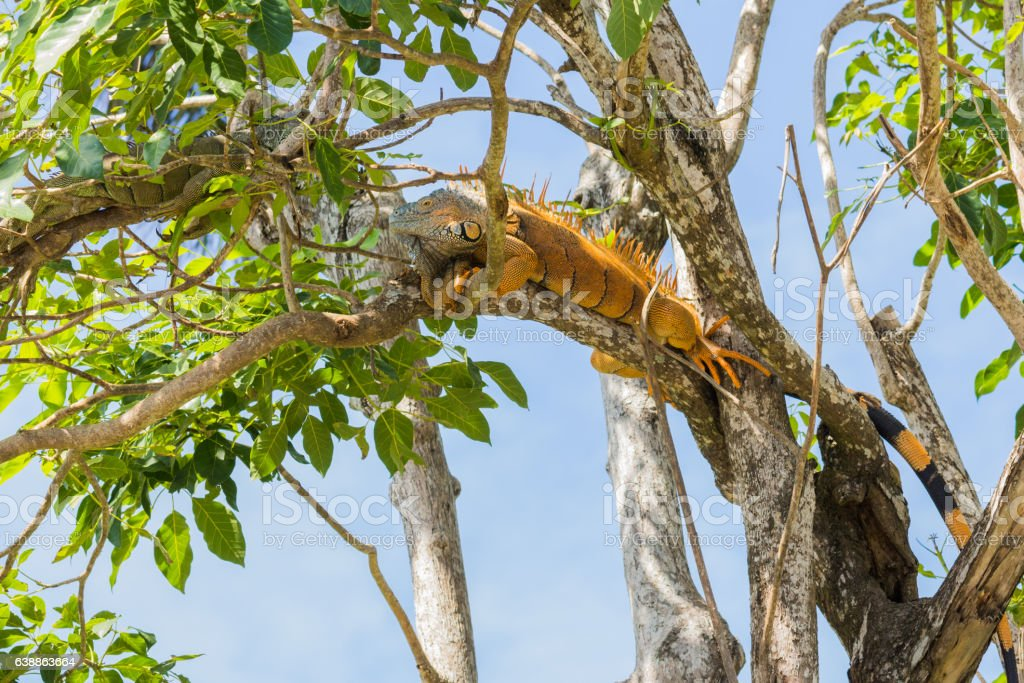 Male green Iguana relaxing in a tree in Belize stock photo