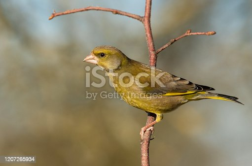 Male european greenfinch perching on a twig.