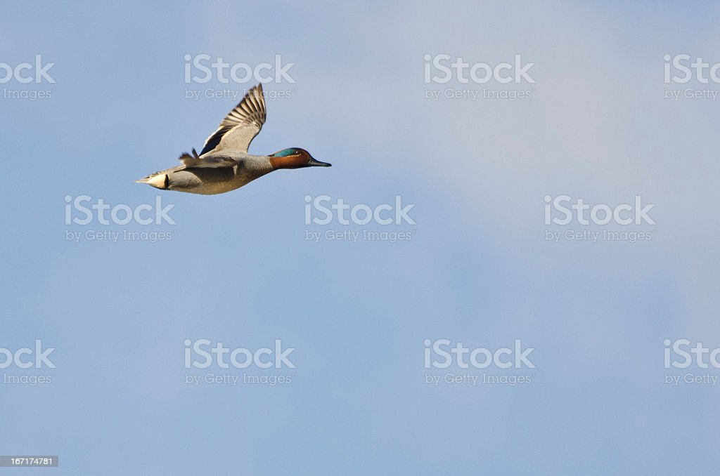Male Green-Winged Teal Flying in a Cloudy Sky stock photo