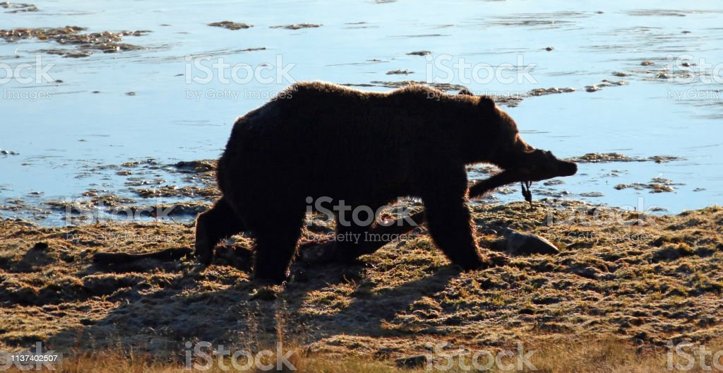 Male Grizzly bear carrying elk kill by Yellowstone river in...