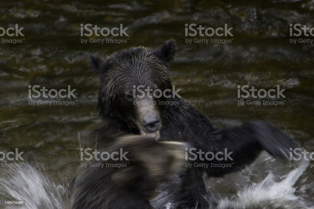 Male Grizzly Bears Fighting royalty-free stock photo