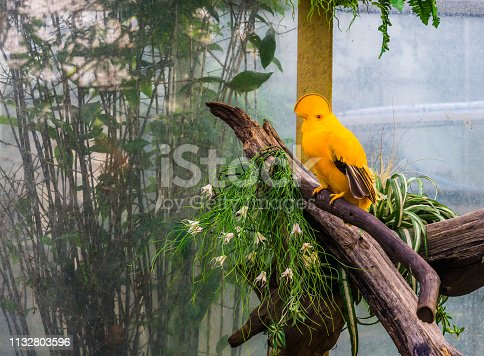istock Male guianan cock of the rock, colorful and tropical bird from guiana, funny crested bird 1132803596