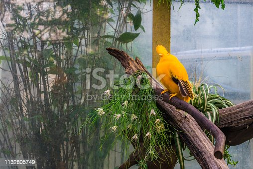 istock Male guianan cock of the rock sitting on a branch in the aviary, tropical and colorful crested bird from guiana 1132805749