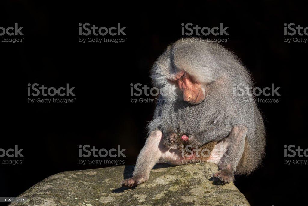 Male hamadryas baboon stock photo