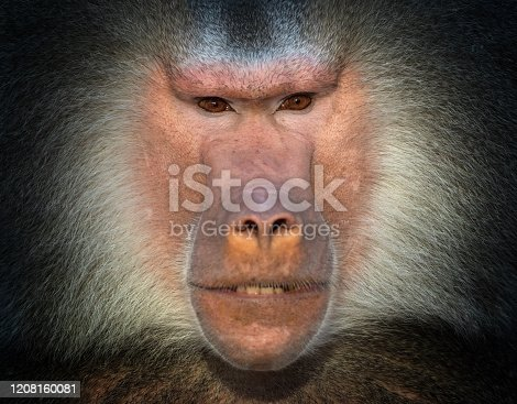 Portrait of a male Hamadryas Baboon.