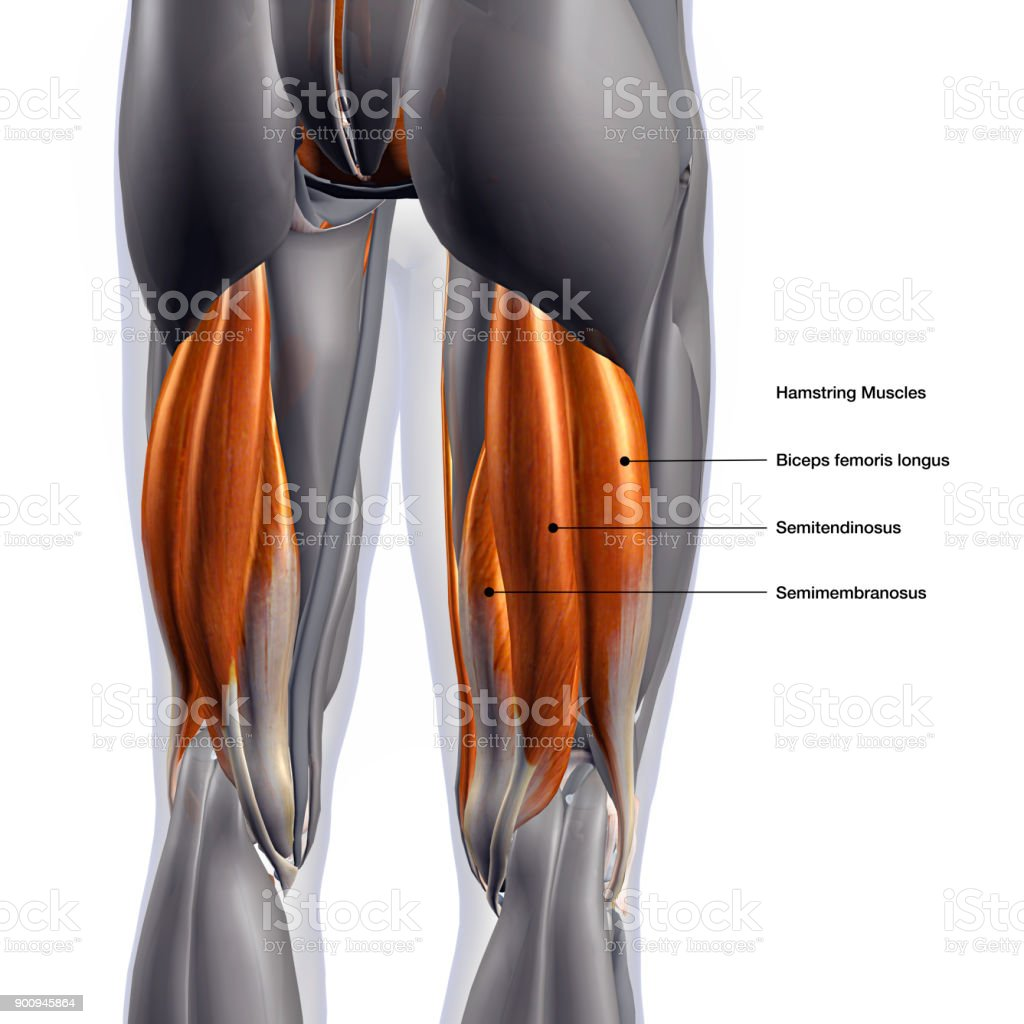 Male Hamstring Muscle Group Labeled On White Background Stock Photo