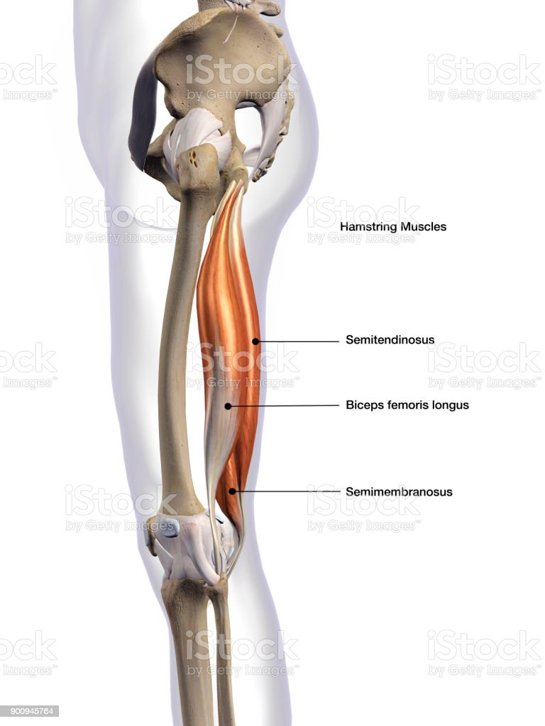 Male Hamstring Muscle Group Lateral View Labeled On White Background