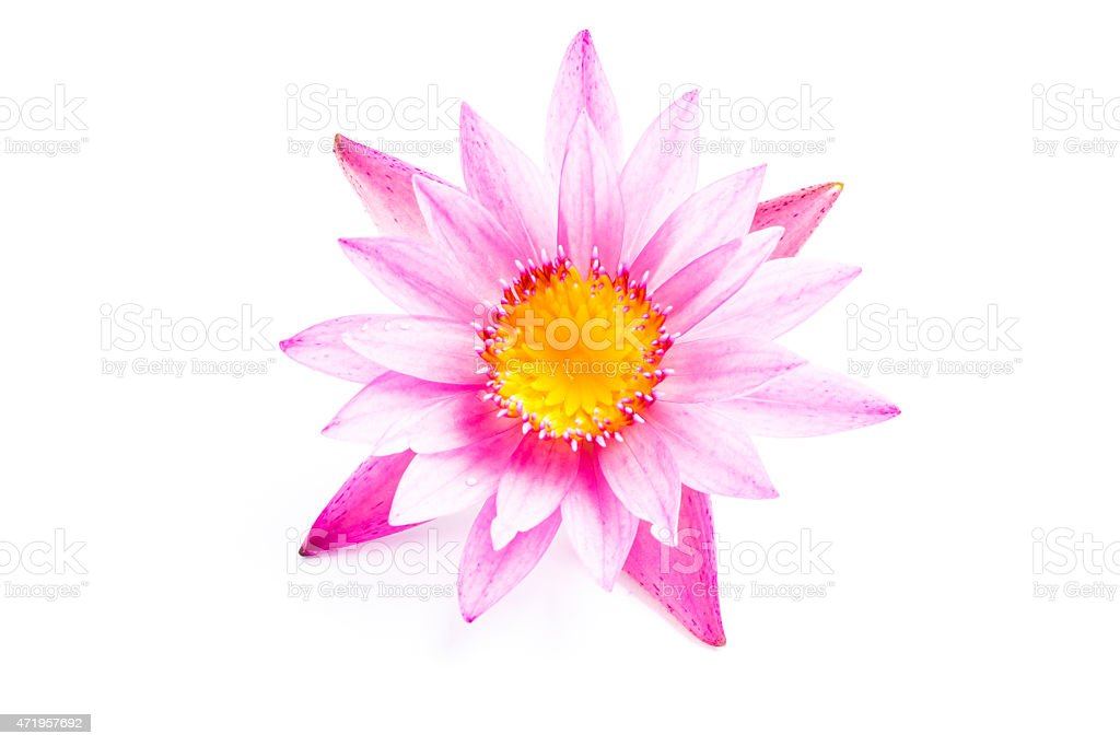 Male Hand Holding Pink Lotus Flower Stock Photo More Pictures Of