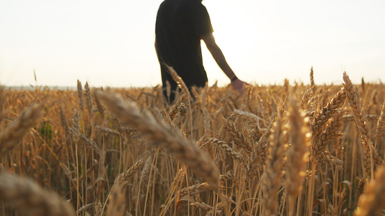 Male hand moving over wheat growing on the field. Young