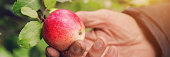 man hand pick red apple from a tree branch in an autumn garden, harvesting, genesis and agriculture knowledge