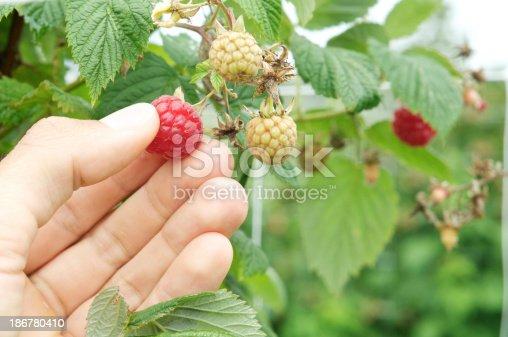 istock male hand picking raspberry 186780410