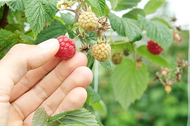 male hand picking raspberry stock photo