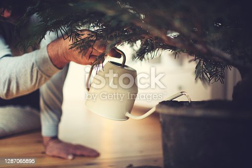 Male hands water a potted Christmas tree