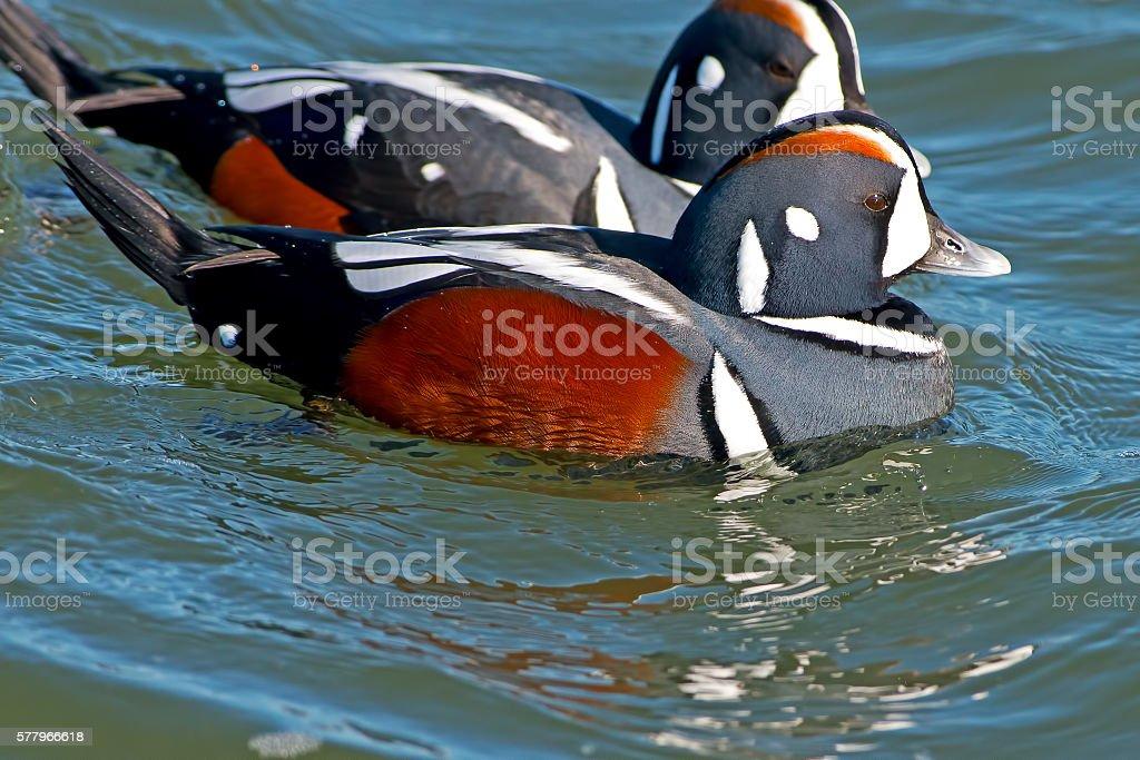 Male Harlequin Duck stock photo