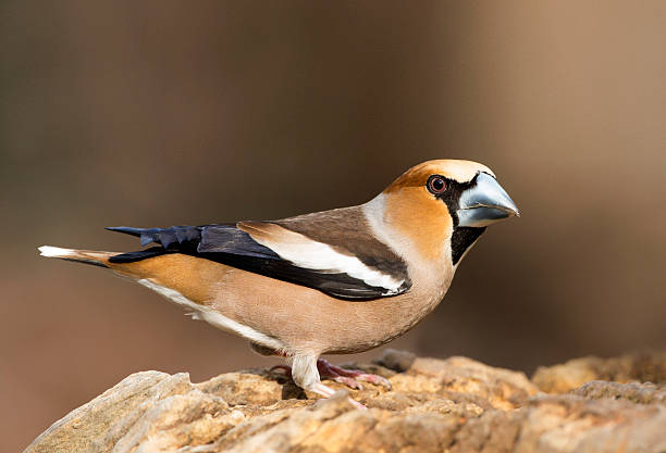 Male Hawfinch stock photo