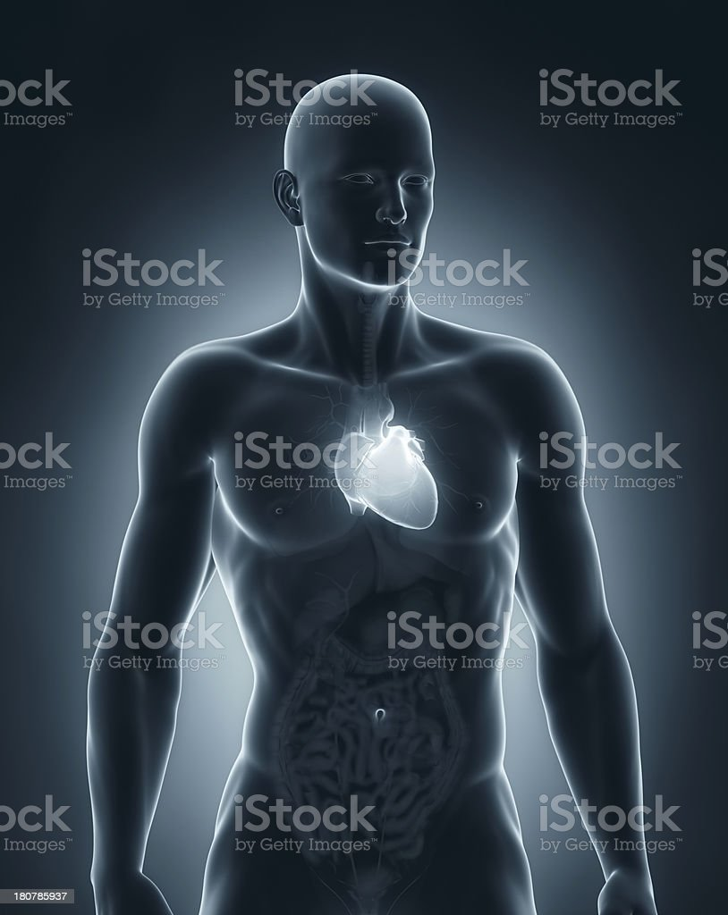 Male Heart Anatomy Anterior View Stock Photo & More Pictures of ...