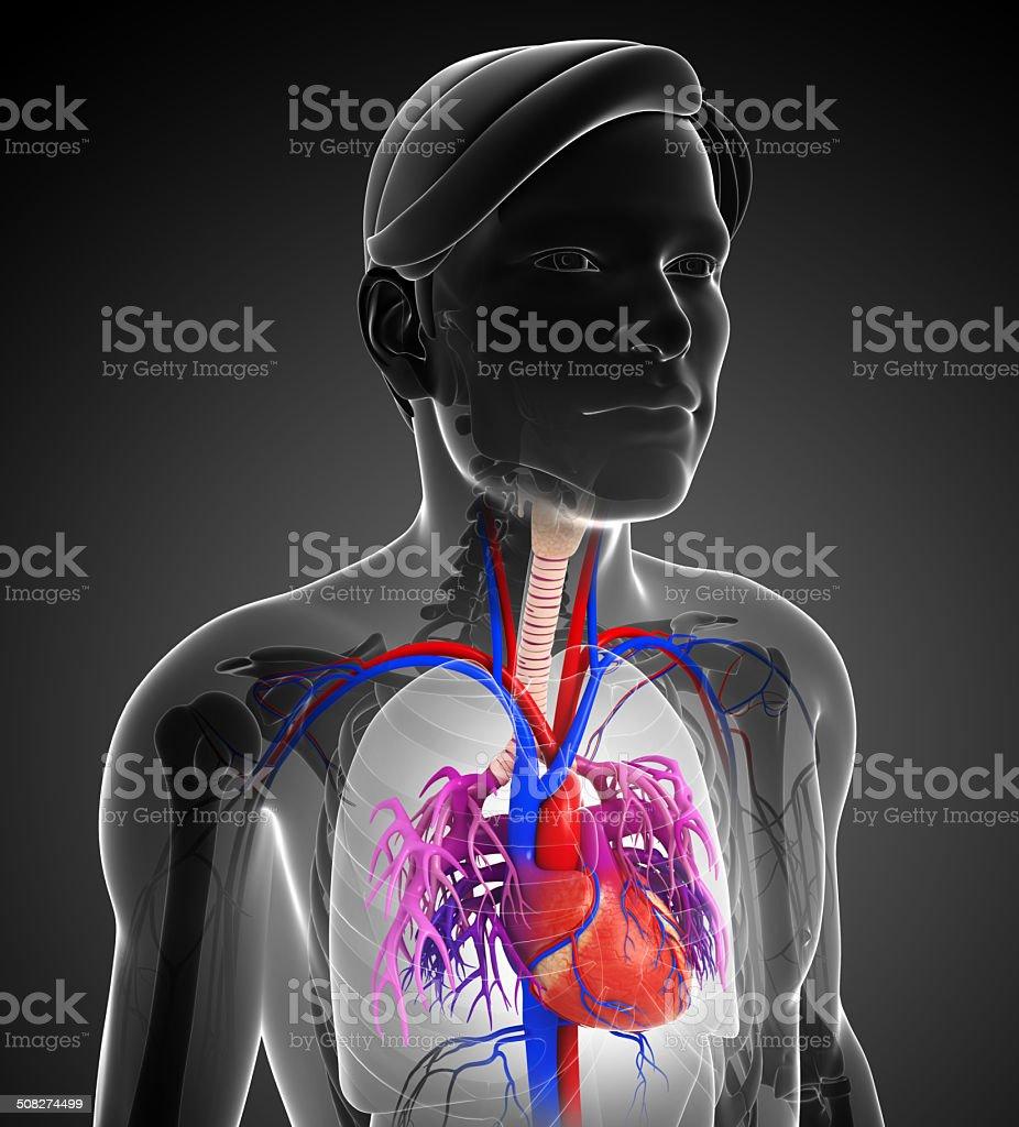 Fotografía de Hombre Anatomía Corazón y más banco de imágenes de ...