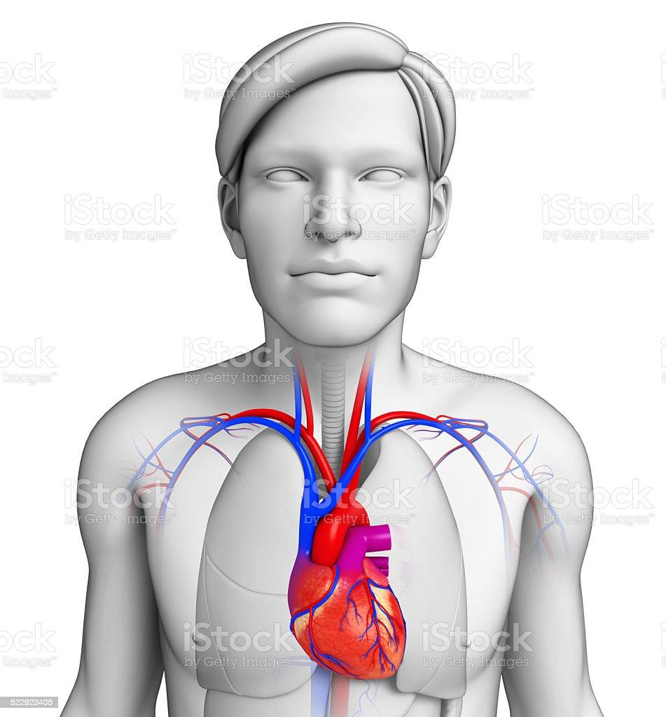 Männliche Herz Anatomie Stock-Fotografie und mehr Bilder von ...