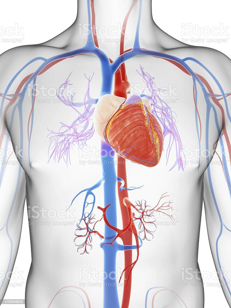 male heart stock photo