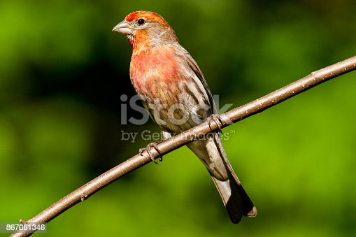 The House Finch (Haemorhous Mexicanus) is a year-round resident of North America and the Hawaiian Islands. Male coloration varies in intensity with availability of the berries and fruits in its diet. As a result, the colors range from pale straw-yellow through bright orange to deep red. This male was photographed in Edgewood, Washington State, USA.