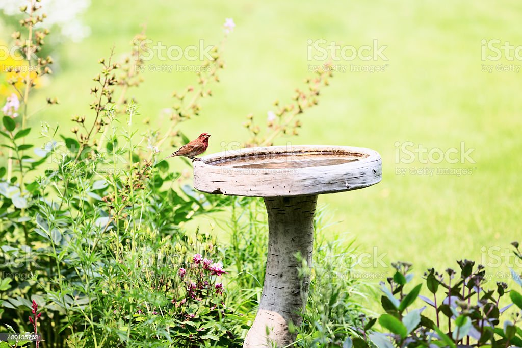 Male House Finch on a Birdbath in Flower Garden stock photo