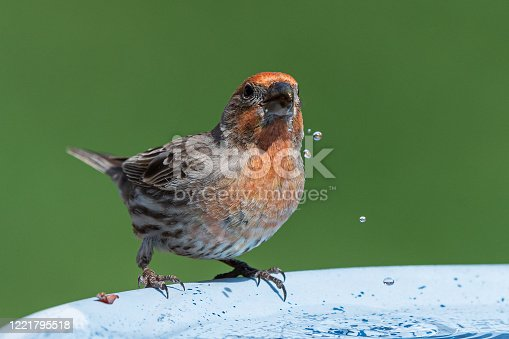 Male House Finch drinking from a garden bird bath.