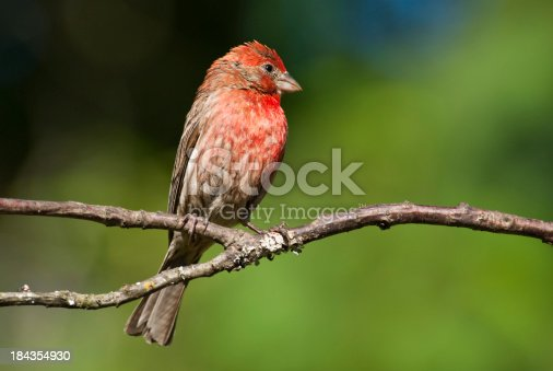 The House Finch (Haemorhous Mexicanus) is a year-round resident of North America and the Hawaiian Islands. Male coloration varies in intensity with availability of the berries and fruits in its diet. As a result, the colors range from pale straw-yellow through bright orange to deep red. Adult females have brown upperparts and streaked underparts. This male finch was photographed in Edgewood, Washington State, USA.