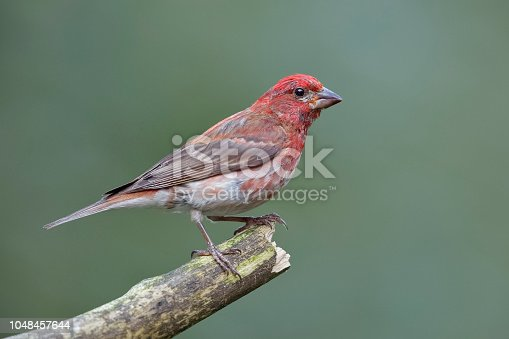 Male House Finch (Haemorhous mexicanus) perched on a dead branch - Ontario, Canada
