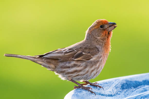 Male House Finch Perched on bird bath. Male House Finch Sitting on a garden bird bath. finch stock pictures, royalty-free photos & images